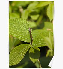 Large Red Damselfly Poster