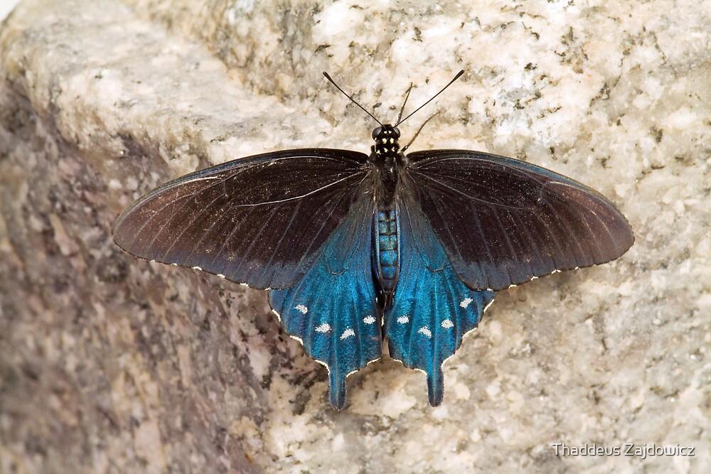 Pipevine swallowtail by Thaddeus Zajdowicz