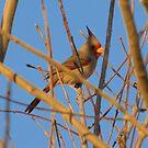 Pyrrhuloxia (Male) ~ Sunset Sir by Kimberly Chadwick