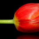 Tulip by Kym Howard