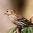 Pine Siskin by naturalnomad