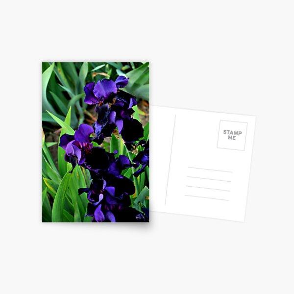 Auvers Iris B Postcard