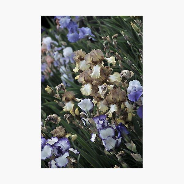 Auvers Iris E Photographic Print