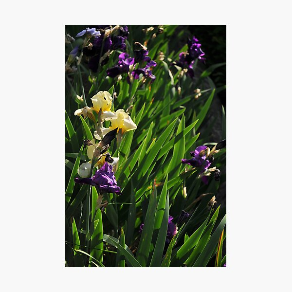 Auvers Iris G Photographic Print