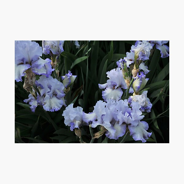 Auvers Iris F Photographic Print