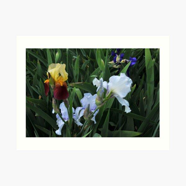 Auvers Iris O Art Print