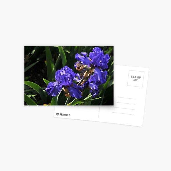 Auvers Iris P Postcard