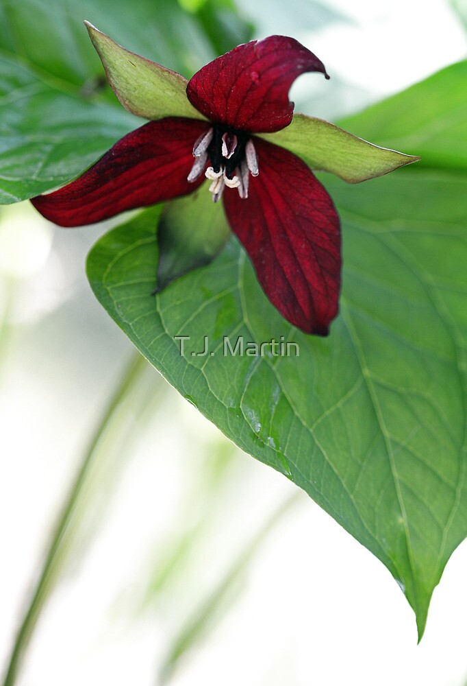 Scarlet Trillium - Light Morning Rain by T.J. Martin