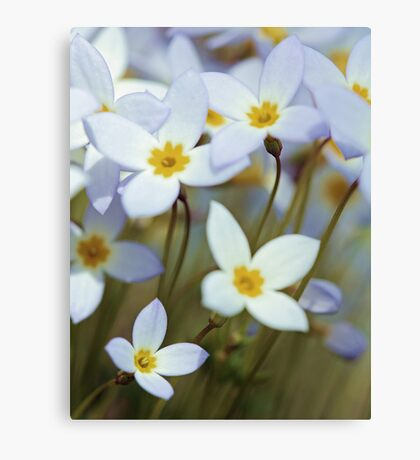 -Azure Bluets Canvas Print