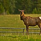 Montana Elk by lincolngraham