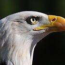 Bald Eagle by Derek McMorrine