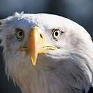 Inquisitive Bald Eagle by Derek McMorrine