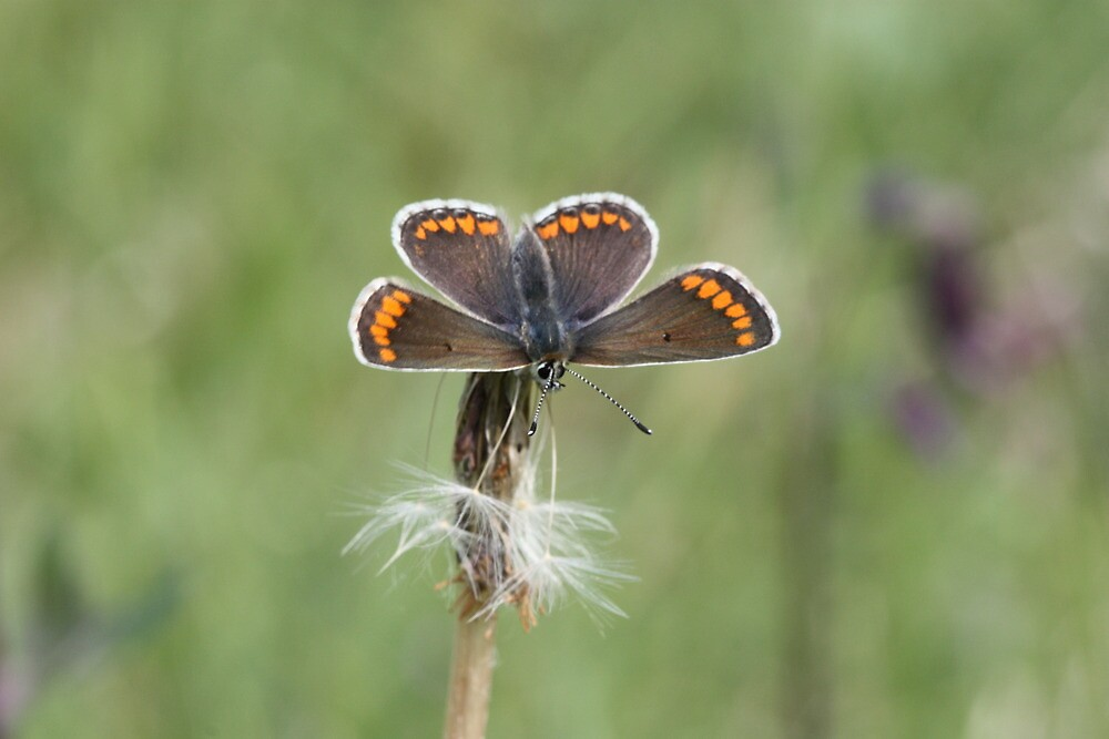 Brown Argus by winterhare