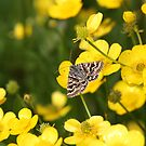 Moth on Buttercup by winterhare