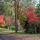 Autumn Colours. Mt Wilson, NSW, Australia by Adrian Paul