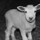 Spring Lamb by Alicia Cameron