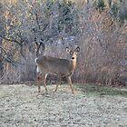 Deer by Alicia Cameron