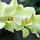 Yellow Orchid by Gayle Dolinger