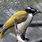 Blue Faced Honey Eater by aussiedi