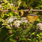 Orange Crowned Warbler by David Friederich