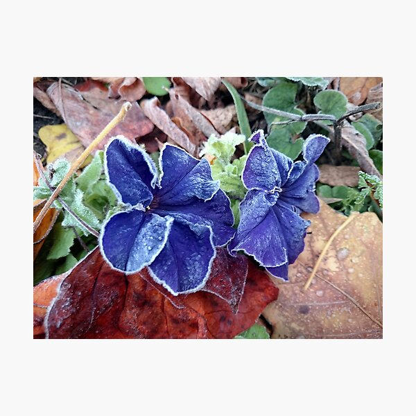 Petunia in hoarfrost Photographic Print