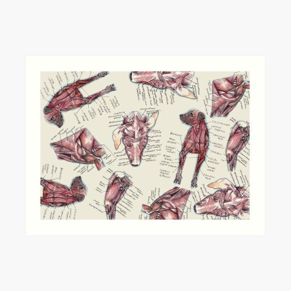 Canine Anatomy  Muscle Art Print