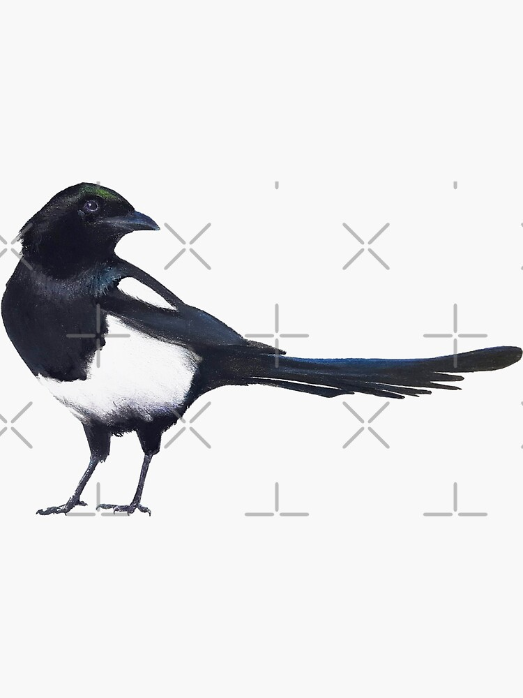 Black-billed magpie - charcoal drawing by EmilyBickell