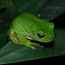 Green Tree Frog by Michael Rowley