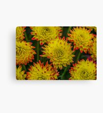 Dahlia Yellow Blooms with Burnt Orange Fringe Canvas Print