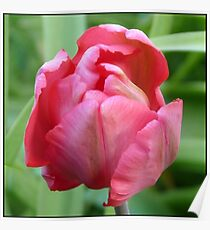 Tulip in Pink Poster