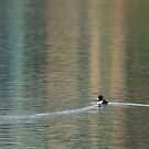 Solitary Tufted Duck by Penny Dixie