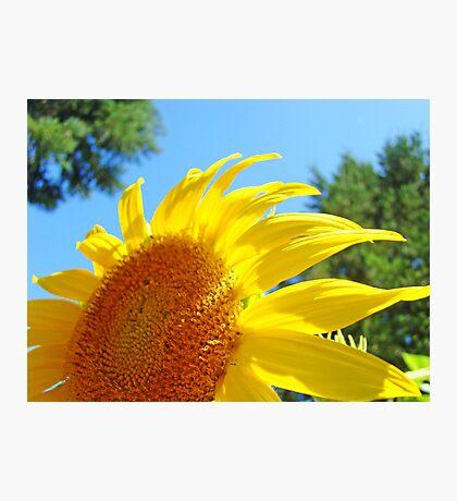 Contemporary art Yellow Sunflower print Photography Photographic Print