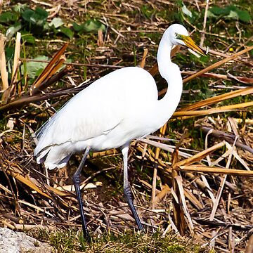 Great Egret - 2 by Photograph2u