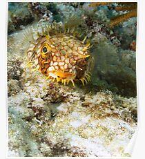 Burrfish Puffer Poster