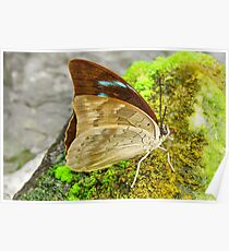 Banded King Shoemaker Butterfly closed wings (Archaeoprepona demophoon) Poster
