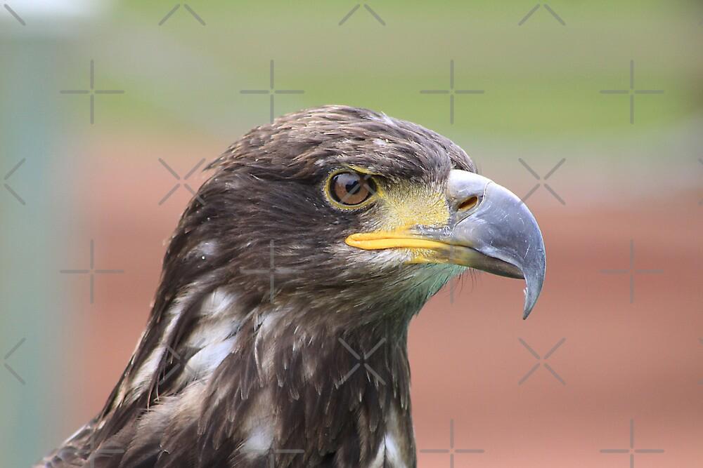 Juvenile Bald Eagle by Alyce Taylor