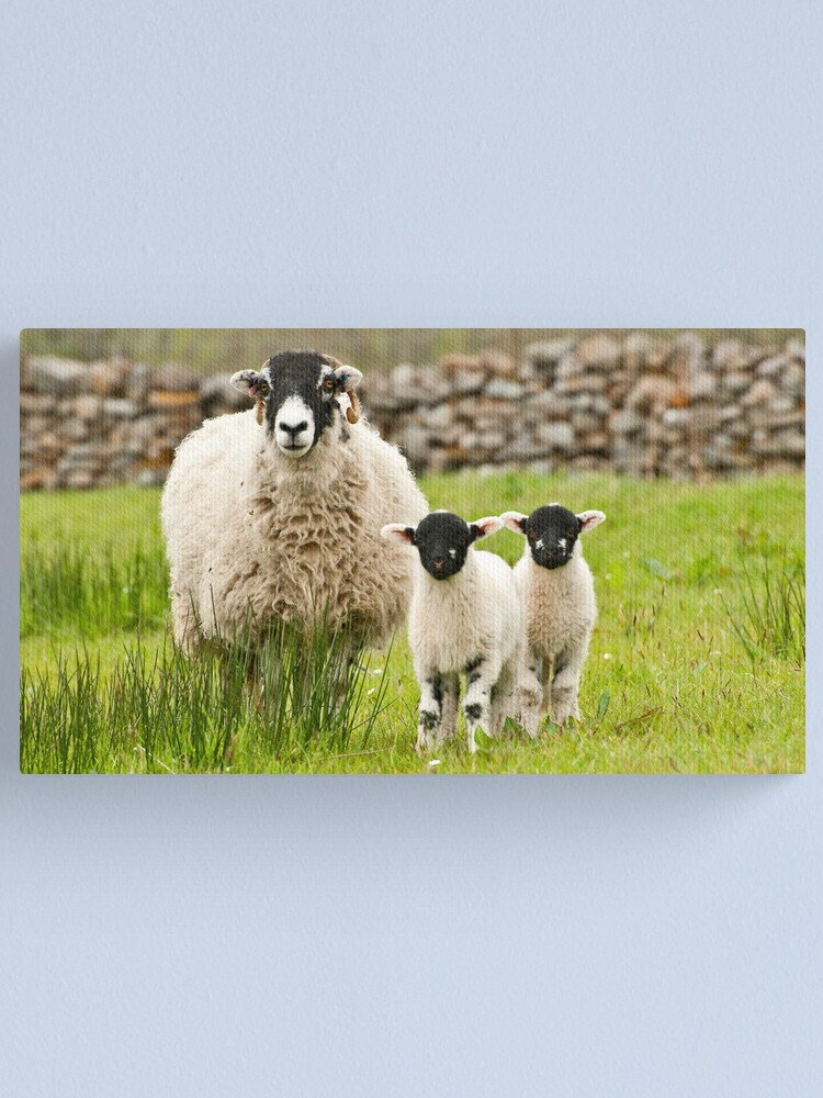 Alternate view of Sheep with lambs Canvas Print