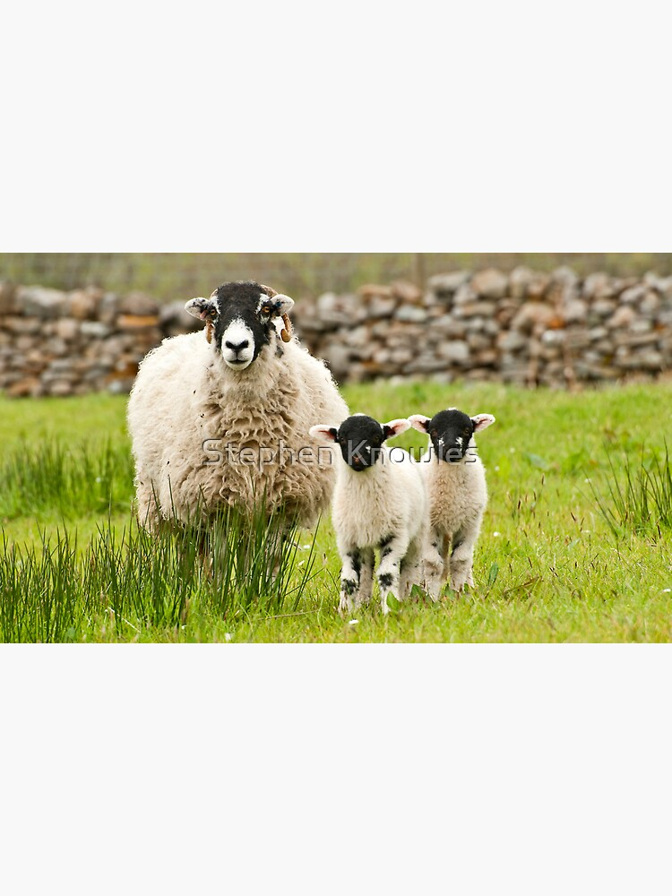 Sheep with lambs by stephenknowles