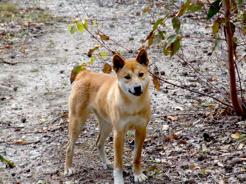 Alpine Dingo by aridas