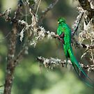 Resplendent Quetzal by Raymond J Barlow