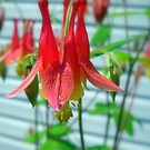 Wild Columbine by debbiedoda