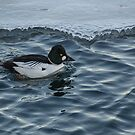 Male Golden Eye Duck in Icy Water at Harbourfront by Gerda Grice