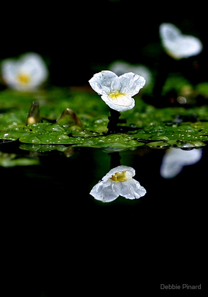Lily Reflection by Debbie Pinard