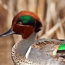 Green Winged Teal Close-up by Michael Mill