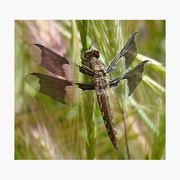 Black dragonfly Photographic Print