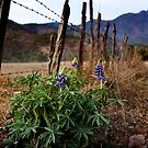 Lupines in Rural Jalisco by Lynnette Peizer