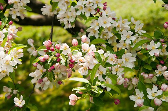 Apple Blossoms by Monica M. Scanlan