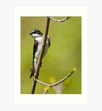 Young Tree Swallow Art Print