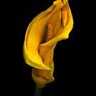 Calla Lily by Jeffrey  Sinnock