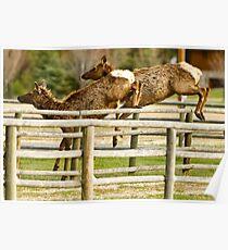 Elk Jumping Poster